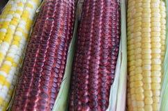 玉米另外品种甜玉米 库存图片