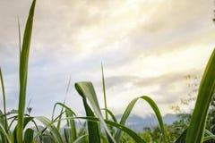 玉米叶子末端天空 库存图片