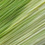 玉米叶子纹理 免版税图库摄影