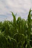 玉米叶子 免版税库存图片