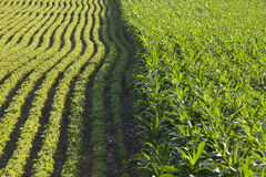 玉米和大豆行在下午阳光下 免版税图库摄影