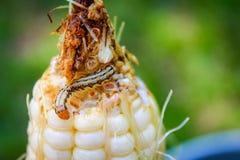 玉米和毛虫 免版税库存照片