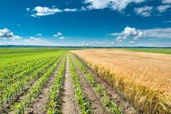 玉米和麦子 免版税库存图片