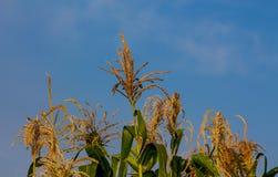 玉米在与蓝天的农田发芽在背景 库存图片