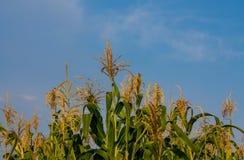 玉米在与蓝天的农田发芽在背景 免版税库存图片