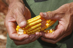 玉米在农夫手上 免版税库存图片
