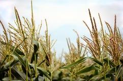 玉米在夏天微风末期的缨子摇动 库存照片