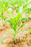 玉米在天旱领域,天旱土地增长 免版税库存图片