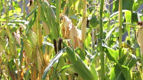 玉米在庭院里增长 股票视频
