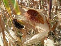 玉米在庭院里 免版税图库摄影