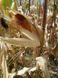 玉米在庭院里 库存图片