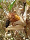 玉米在庭院里 免版税库存照片