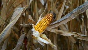 玉米在秋天 库存图片