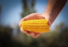 玉米在自然背景的手上 免版税库存照片