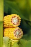 玉米在茎的玉米棒子在领域 免版税图库摄影