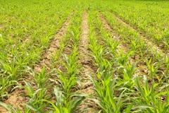 玉米地产犁偷偷靠近年轻人 免版税库存图片