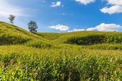 玉米小山 库存照片