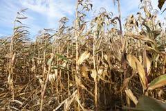 玉米干燥茎 免版税库存图片