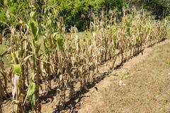 玉米干燥行  图库摄影