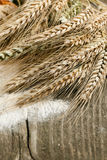 玉米干耳朵 免版税库存图片