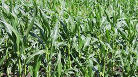 玉米年轻射击在夏天领域增长 股票录像