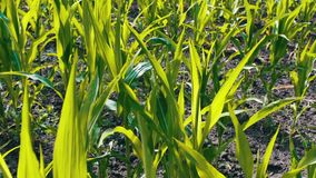 玉米年轻射击在夏天领域增长 影视素材