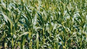 玉米年轻射击在夏天领域增长 股票视频