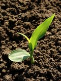 玉米幼木年轻人 免版税库存照片
