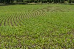 玉米幼木行在领域的 库存图片