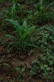 玉米幼木,玉米,新芽 图库摄影