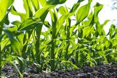 年轻玉米幼木 免版税库存图片