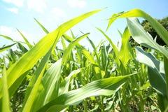 玉米庄稼夏天 免版税图库摄影