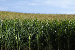 玉米庄稼 领域玉米田 免版税图库摄影
