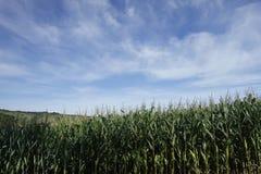 玉米庄稼 领域玉米田 库存照片