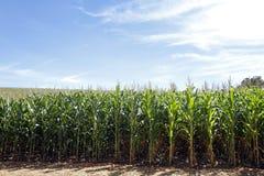 玉米庄稼 领域玉米田 免版税库存图片