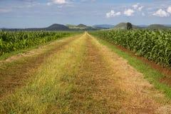 年轻玉米庄稼 免版税库存图片