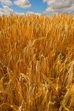 玉米归档的金黄麦子 库存图片