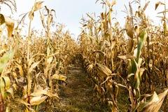 玉米成熟黄色 库存照片