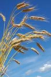 玉米成熟黑麦 免版税库存图片