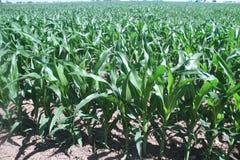 玉米成长在一个大农场的中西部 库存照片
