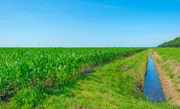 玉米成长在一个领域在夏天 库存图片