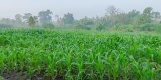 玉米成长在农场 库存图片