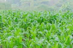 玉米成长在农场 免版税库存图片