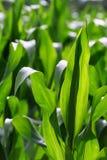 玉米成长的 免版税图库摄影