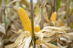 玉米或玉米处理的成黄色饲料 库存照片