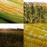 玉米拼贴画 免版税库存照片