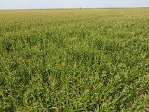 玉米捷克域共和国 在领域的甜玉米绽放 成长和成熟的期间玉米棒子 免版税库存图片