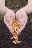 玉米播种 免版税库存照片