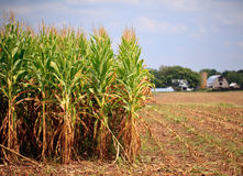 玉米收获准备好的行 库存照片