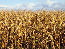 玉米收获准备好 免版税库存照片